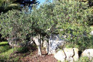 Olive-trees2926376