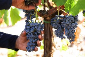The-Vineyards-on-Mount-Etna