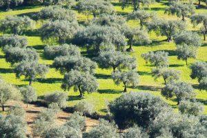 olive-grove-near-Ragusa