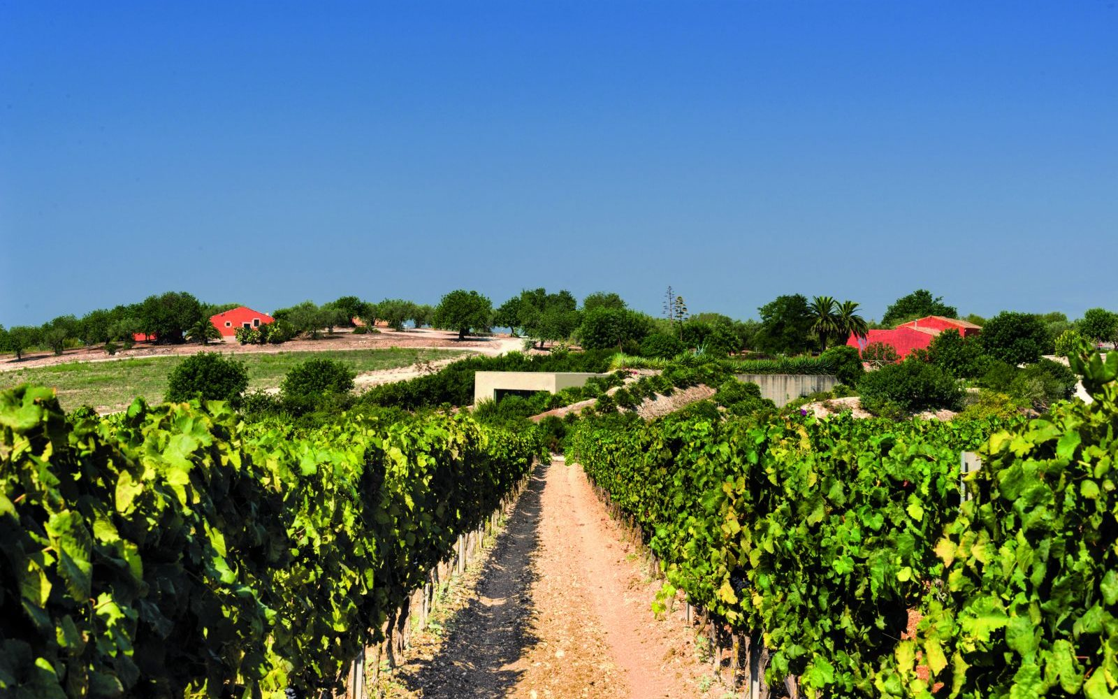 Siracusa area_vineyard